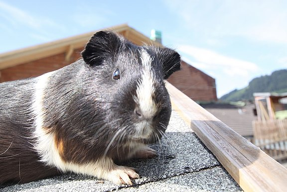 One of our guinea pigs
